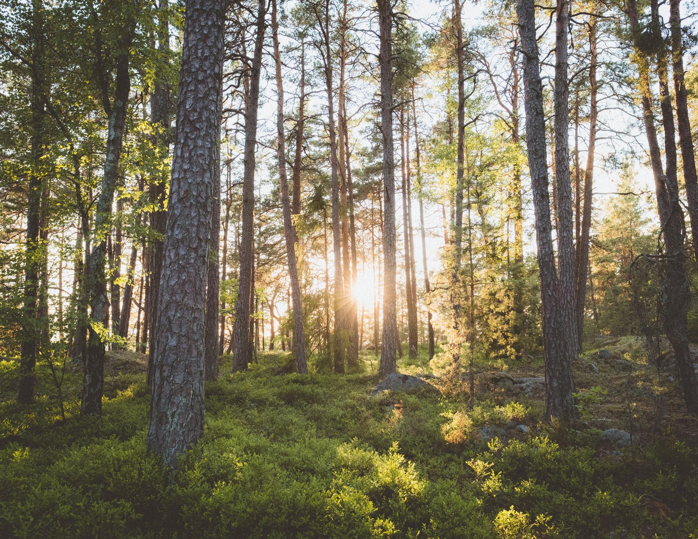 tallskog i solsken